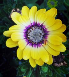 Exotic Yellow Flower with Purple Center and Over 25 Petals.JPG