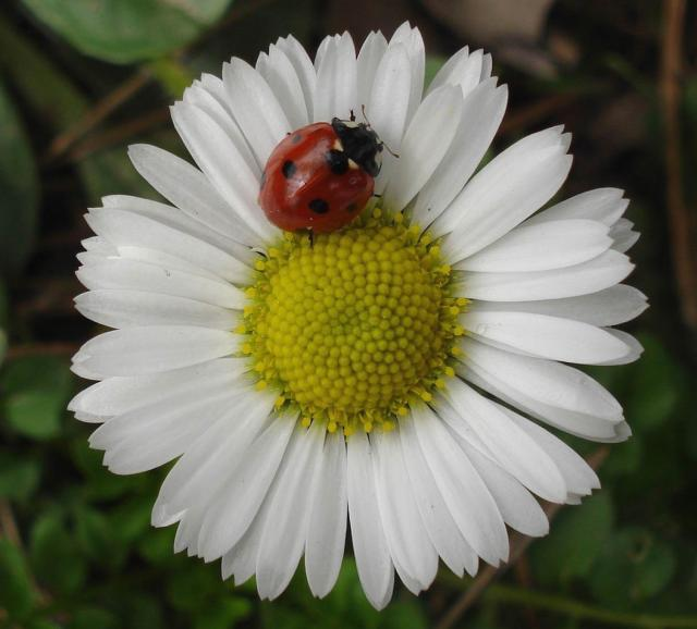 1000+ images about Daisy: Flower on Pinterest