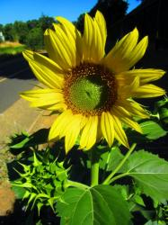 Large Sunflower with Green Center.JPG