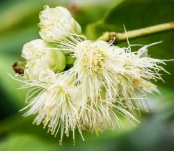 Beautiful fruit tree flowers picture of Wax Jambu flower in white