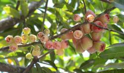Pink Wax Jambu tree picture