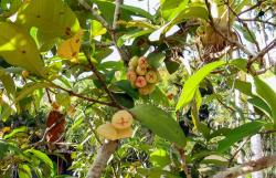 Tropical fruit tree picture of wax jambu fruits