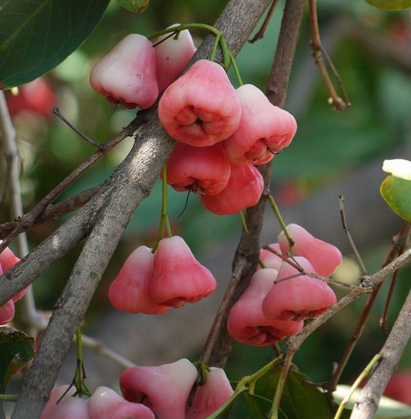 Wax Jambu tree with pink wax jambu fruits