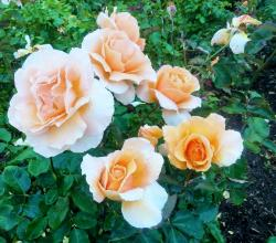 Garden of Light Pink Roses.JPG