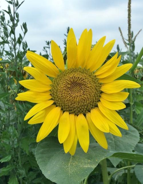 Big Sunflower Among Green Leaves.JPG