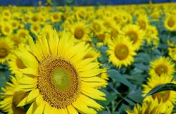 Field of Yellow Large Sunflowers.JPG