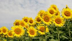 Sunflowers Garden with White Clouds in the Background.JPG