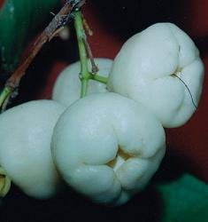 White wax jambu fruits pictures