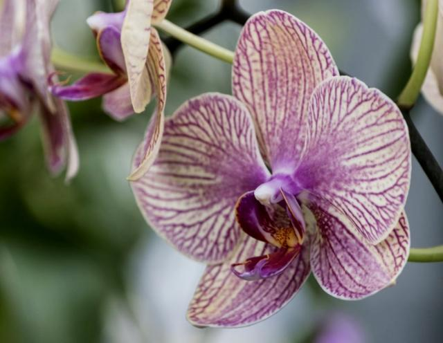 Purple and White Orchid Close Up Photo.JPG