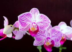 Hot Pink & White Orchid Flowers.JPG