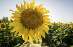Big Sunflower in a Farm at Sun Rise.JPG