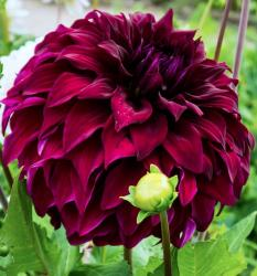 Dark Red Dahlia Flower.JPG
