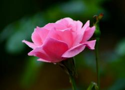 Light Pink Rose with Dew Drops & Blurred Background.JPG
