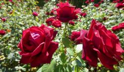 Trio of Red Roses in a Rose Garden.jpg