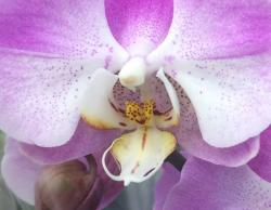 Purple orchid close up