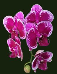Purple and lavender orchids