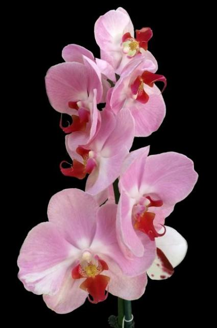 Pink vertical group of orchids