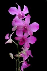 Lavender vertical group of orchids