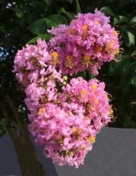 This is a picture of myrtle tree blossoms