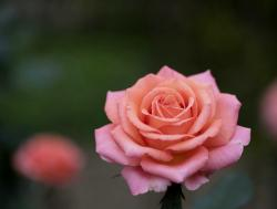 Pink Rose with Blurred Dark Background.JPG
