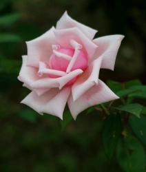 Light Pink Rose Close-Up with Interesting Folds.JPG