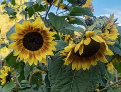 Very large Sunflowers with Big Leaves.JPG