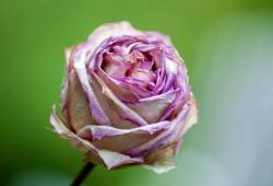 White Rose with Pink Highlights Close-Up Blurred Background.JPG