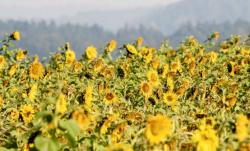 Field of Sunflowers with Blurred Background.JPG