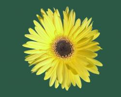 This is a picture of a Yellow Daisy