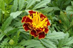This is a picture of a French Marigold
