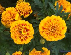 This is a picture of a Marigold plant