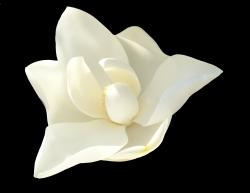 This is a picture of a Magnolia blossom