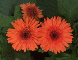 This is a picture of a Gerbera Daisy