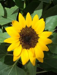This is a picture of a Sun Flower