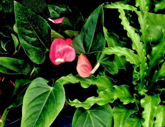 This is a picture of a Tail Flower - Anthuriums