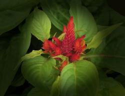 This is a picture Of Celosia plants