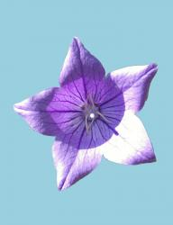 This is a picture Of a Balloon Flower Blossom