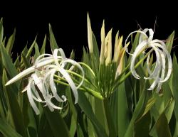This is a picture Of a Crinum Lily