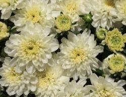This is a picture Of Chrysanthemum blossoms