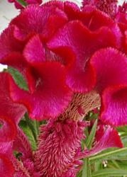 This is a picture of a Cock's Comb celosia  blossom
