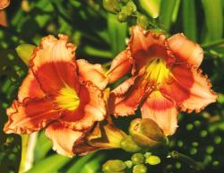 This is a picture of Day Lilies