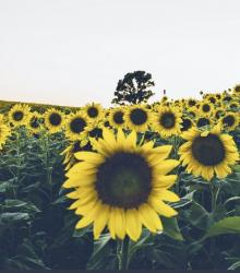 Field of Sunflowers with Tree in the Background.JPG