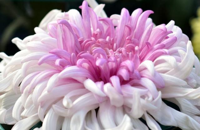 Wispy Tentacle-Like Flower Light Pink Dahlia.JPG