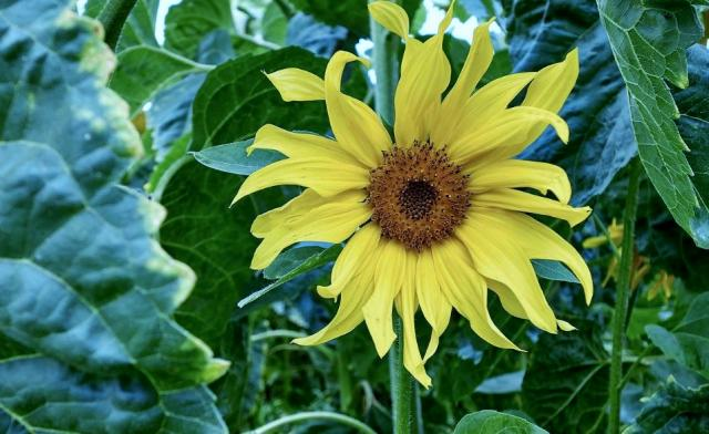 Yellow Sunflower with Curled Petals.JPG