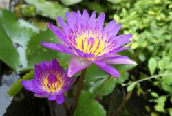 Purple and Yellow Lotus Flowers with Water Drops.JPG
