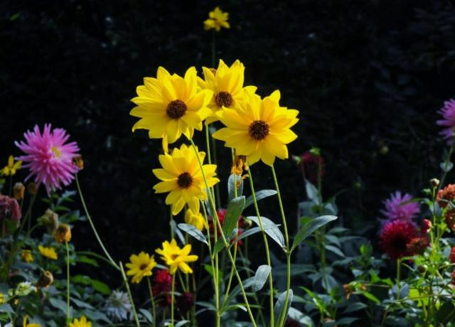 Heliantheae Sunflower Garden with Yellow Pink and Red Flowers.JPG