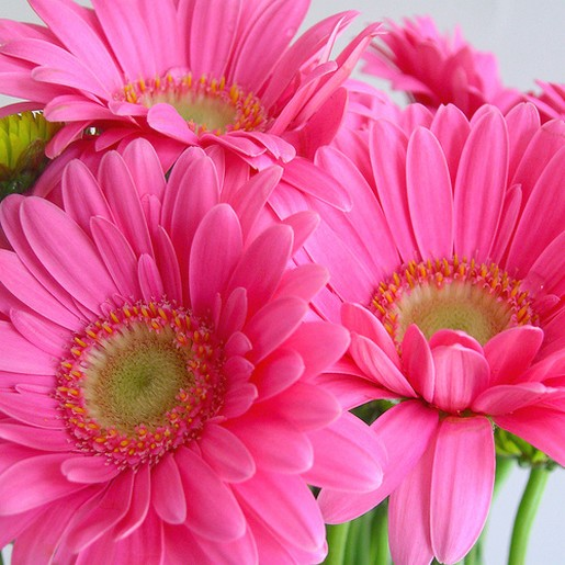 daisy flower pictures [p. ], Beautiful flower