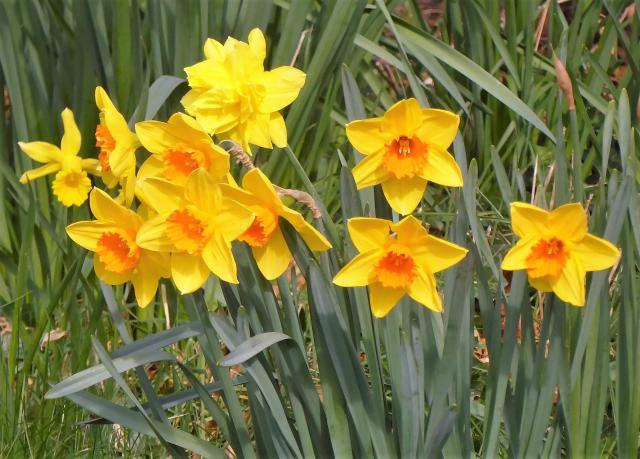 Blooming Yellow and Orange Daffodils.JPG