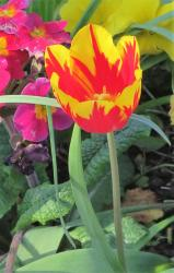 Bright Yellow and Red Tulip with Stem.JPG