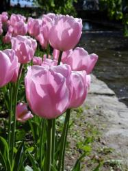 Soft pink Tulips in the Sun.JPG